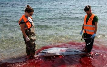 Σφαγές θηλαστικών στο Αιγαίο: Έκοψαν με μαχαίρι τα πτερύγια δελφινιών