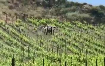 Με drones πολεμάνε τον δάκο στα χωράφια της Κρήτης