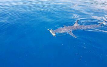 Καρχαρίας επιτίθεται σε χελώνα σε θαλάσσια περιοχή της Λεμεσού