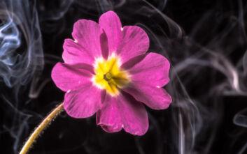 Το πολύτιμο βότανο που συλλέγουν παράνομα στην Ελλάδα και το εξάγουν στο εξωτερικό
