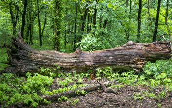 Δέντρο καταπλάκωσε άνδρα στις Σκουριές