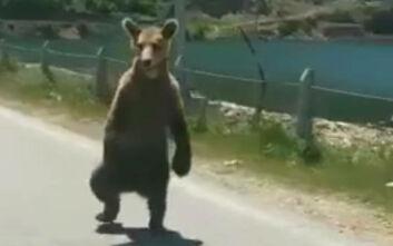 Δεν επανεντάχθηκε στη φύση το ένα από τα δύο αρκουδάκια που απελευθέρωσε ο Αρκτούρος