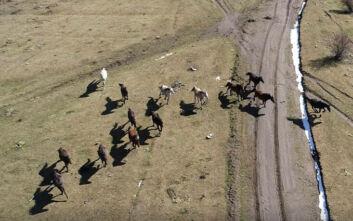 Η αδάμαστη ομορφιά του Μενοίκιου Όρους: Παρακολούθηση των αλόγων με drone και gps