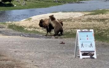 Ο φακός κατέγραψε φονική μάχη αρκούδας και βίσονα
