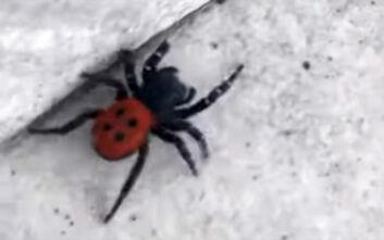 Η σπάνια αράχνη - πασχαλίτσα που εντοπίστηκε στα Φάρσαλα