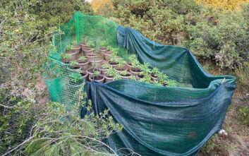 Καλλιεργούσαν χασισόδεντρα σε δασική έκταση της Θέρμης