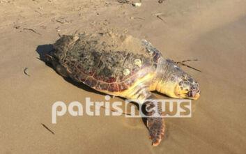 Χτυπημένη και νεκρή ξεβράστηκε σε παραλία της Ηλείας χελώνα καρέτα - καρέτα