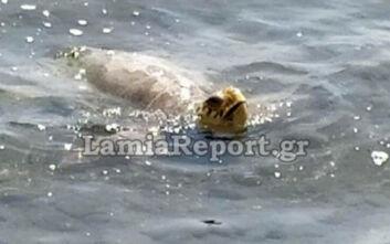 Εικόνες από τραυματισμένη καρέτα - καρέτα που βγήκε σε παραλία της Φθιώτιδας