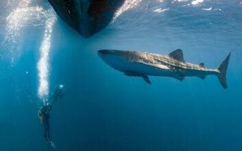Η στιγμή που λευκός καρχαρίας επιτίθεται και πνίγει μεγάπτερη φάλαινα