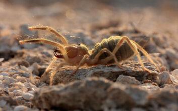 Camel Spider: Είναι επικίνδυνο ή όχι το περίεργο είδος αράχνης που εμφανίστηκε στην Ελλάδα