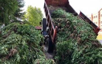 Αστυνομικό drone βρήκε χασισοφυτεία «μαμούθ» με 14.000 δενδρύλλια στα Γρεβενά