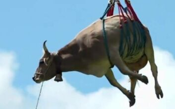 Με ελικόπτερο μεταφέρουν τις τραυματισμένες αγελάδες στην Ελβετία