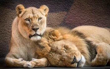 Ζευγάρι λιονταριών έμεινε αχώριστο στη ζωή αλλά και τον θάνατο