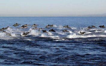 Σπάνιο φαινόμενο: Κοπάδι εκατοντάδων δελφινιών πηδούν το ένα μετά το άλλο πάνω από το νερό
