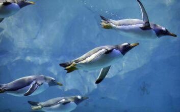 Δορυφόρος ξετρύπωσε νέες αποικίες αυτοκρατορικών πιγκουίνων στην Ανταρκτική