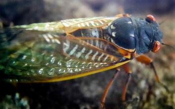 Επέστρεψαν τα τζιτζίκια - ζόμπι: Μύκητας ελέγχει το μυαλό τους