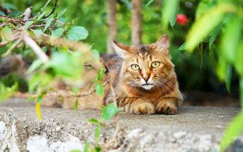 Γάτος διένυσε 65 χιλιόμετρα για να ξαναβρεί τους πρώτους ιδιοκτήτες του