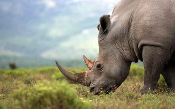 Αριθμός ρεκόρ ρινόκερων έχουν σκοτωθεί φέτος από λαθροθήρες στη Μποτσουάνα