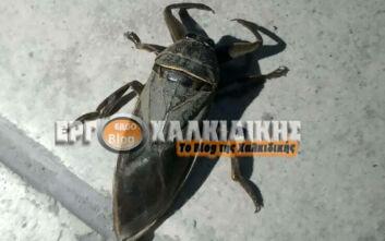 Σπάνιο δηλητηριώδες έντομο εμφανίστηκε στη Χαλκιδική