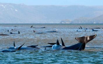 Τις δεκάδες φάλαινες που έχουν παγιδευτεί στο νησί Τασμανία προσπαθούν να σώσουν οι επιστήμονες
