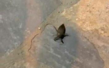 Δηλητηριώδες σκαθάρι τρόμαξε τον Πλαταμώνα – Κάτοικοι κατέγραψαν Λιθόκερο 10 εκατοστών