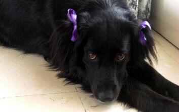 Άτμα, η σκυλίτσα που χάθηκε στην Άνδρο - Έκκληση από τον ιδιοκτήτη της