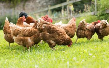 Η Δανία θανατώνει 25.000 κοτόπουλα - Εντοπίστηκαν κρούσματα γρίπης των πτηνών