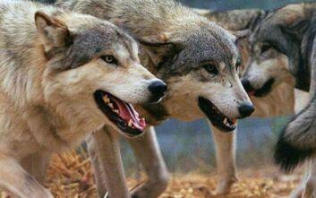 Αγέλη λύκων το έσκασε από πάρκο άγριων ζώων στη Νίκαια της Γαλλίας
