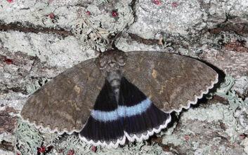 Πεταλούδα σε μέγεθος πουλιού ανακάλυψαν επιστήμονες στο Τσερνόμπιλ