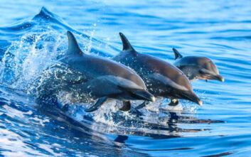 Φουντώνει το μυστήριο με τα ακέφαλα δελφίνια που ξεβράζονται σε ισπανικές παραλίες