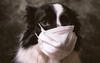 Τα εκτρεφόμενακαι τα κατοικίδια ζώα δεν μπορούν να μολυνθούν, ούτε να μολύνουν τον άνθρωπο με κορονοϊό