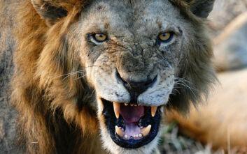 Η απίστευτη μάχη ερευνητή με πεινασμένο λιοντάρι: Έριξε μπουνιά στο πρόσωπο του ζώου