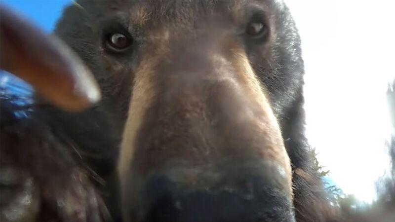 gopro bear