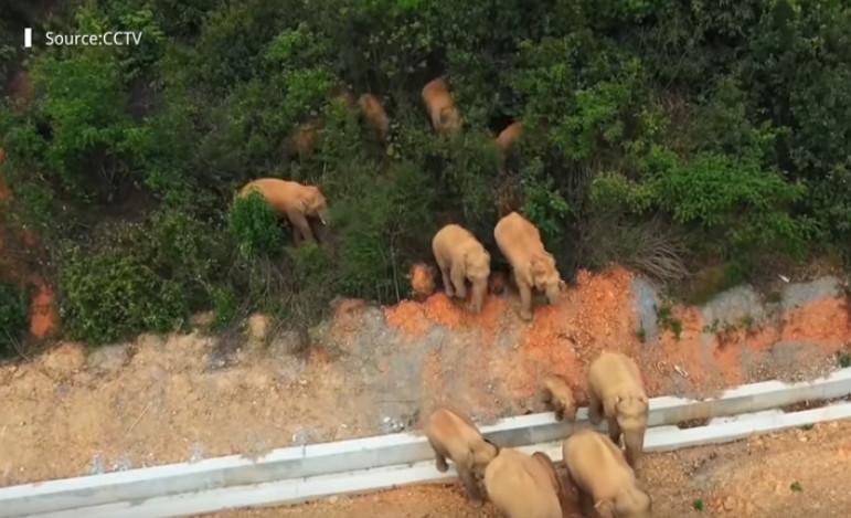 Ο «μεγάλος περίπατος» ενός κοπαδιού ελεφάντων στην Ασία