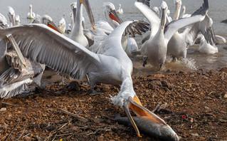 Εντυπωσιακές φωτογραφίες από τη Λίμνη Κερκίνη: Αργυροπελεκάνοι «φλερτάρουν» με τους ψαράδες