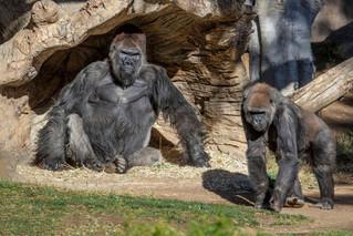 Έκαναν το εμβόλιο κατά του κορονοϊού πίθηκοι του ζωολογικού κήπου του Σαν Ντιέγκο